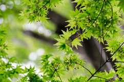 Maple verdure. The Maple verdure. (The Early summer season Stock Image