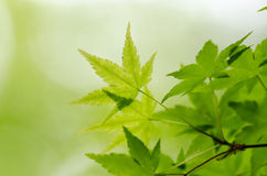 Maple verdure. The Maple verdure. (The Early summer season Stock Images