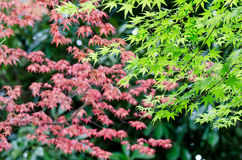 Maple verdure. The Maple verdure. (The Early summer season Royalty Free Stock Photography