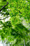 Maple verdure. The Maple verdure. (The Early summer season Royalty Free Stock Image