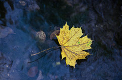 Maple in water Stock Images