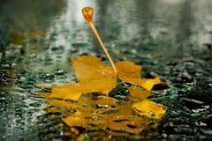 Maple wet reflection stock photography
