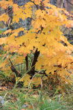Maple yellow blast Royalty Free Stock Images