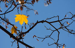 Maple yellow foliage on a branch Royalty Free Stock Image