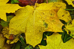 Maple yellow leaf. With water drops Royalty Free Stock Photos