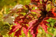 Maple yellow leaf Stock Photo