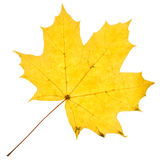 Maple yellow leaf isolated Royalty Free Stock Photos