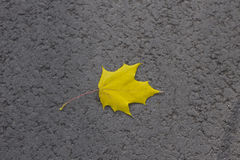 Maple yellow leaf Stock Photography