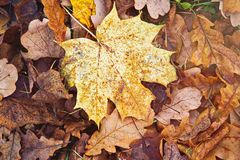Maple yellow leaf lying on the red oak leaves in autumn Stock Photography