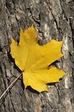 Maple yellow leaf over pine trunk. Close-up of maple yellow leaf over pine trunk Stock Photo