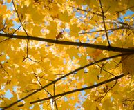 Tree branch maple yellow leaf sunlight outdoor bokeh background blue sky. Maple yellow leaf tree branch outdoor blue sky nature autumn day stock images