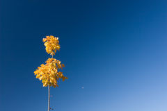 Maple with yellow leaves against blue sky Stock Image