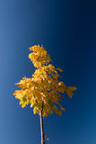 Maple with yellow leaves against blue sky Royalty Free Stock Images