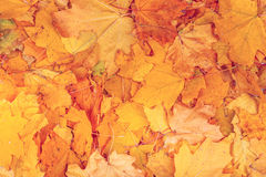 Maple yellow leaves background texture. Background group autumn orange leaves. Outdoor. Maple yellow leaves background texture. Beautiful carpet of fallen Stock Photo