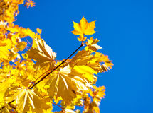 Maple with yellow leaves Stock Image