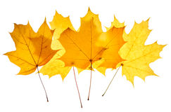 Maple yellow leaves isolated Royalty Free Stock Photography