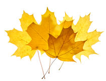 Maple yellow leaves isolated Stock Photo