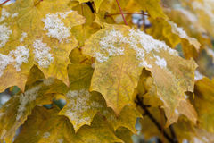 Maple yellow leaves with snow  . Royalty Free Stock Photos