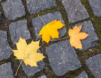 Maple yellow leaves on the stone paving tile for background Royalty Free Stock Image