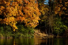 Maple yellow-red forest on the shore of the pond.  royalty free stock images