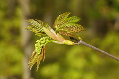 Maple young leaves and flower. Royalty Free Stock Photography