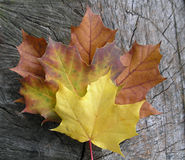Mapleleaves Fotografia de Stock