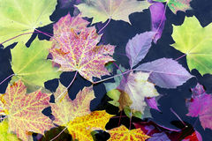 Mapleleaves  in water Stock Images
