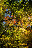 Maples and alders in the fall. Vine maple (Acer circinatum) and red alder (Alnus rubra) leaves in the fall Stock Photo