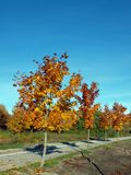 Maples in autumn 2 Royalty Free Stock Photography