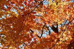 Maples in the Autumn Royalty Free Stock Photo