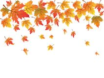 Maples background with copy space Stock Photo