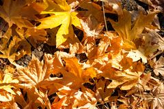 Maples dead leaves, Ashland, Oregon. Shooted in a garden around the city royalty free stock photo