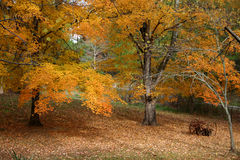 Maples in the fall. Golden Maples in the fall royalty free stock images