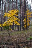 Maples in the forest. Maples with yellow leaves in autumn in pine forest royalty free stock photo