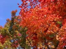 Maples in full autumn colour. Maples in formal Japanese garden Stock Photo