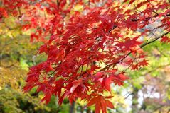 Maples in full autumn colour. Maples in formal Japanese garden Royalty Free Stock Photography