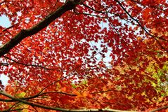 Maples in full autumn colour Royalty Free Stock Images
