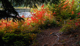 Maples At Hand. Fall scene at Hand Lake near Santiam Pass, OR royalty free stock image