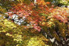 The maples in Japan. The green.yellow and red maples in Japan Stock Photography