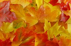 Maples leaf. Autumn yellow maples leaf on the tree stock images