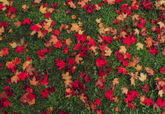 Maples Leaf Background in the Fall. High View of Maples Leaves in Canada during the Fall. There is space for text Royalty Free Stock Photos
