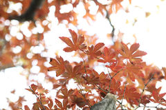 Maples leafs Royalty Free Stock Photo