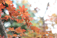 Maples leafs Royalty Free Stock Photos