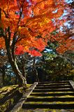 Maples in nara Royalty Free Stock Photography