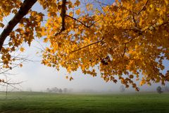 Maples and Pasture. Morning scene with fog over pasture with yellow maple leaves in foreground Royalty Free Stock Photography