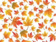 Maples seamless background Stock Image