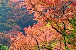 Maples Tree on the Mountain Royalty Free Stock Photo