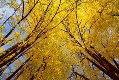 Maples trees royalty free stock photography