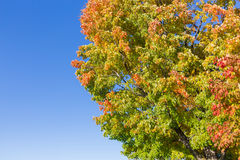 Maples Trees in the Fall Stock Photos