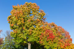Maples Trees in the Fall Stock Photography